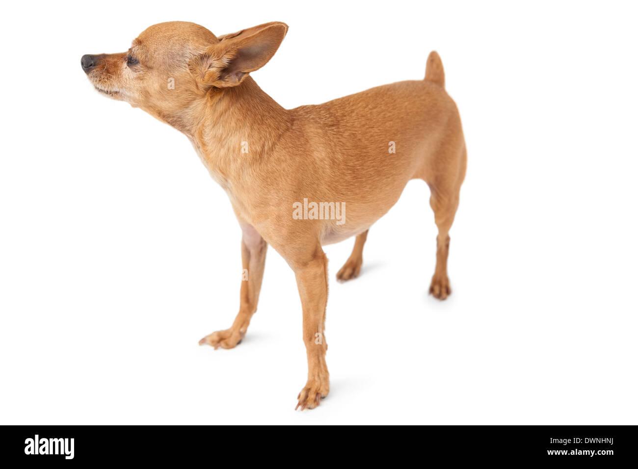 Full length of a pet dog - Stock Image