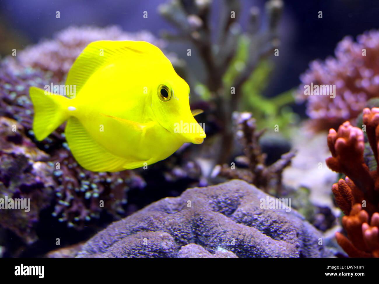 Yellow Tropical Fish That Swims In The Marine Aquarium
