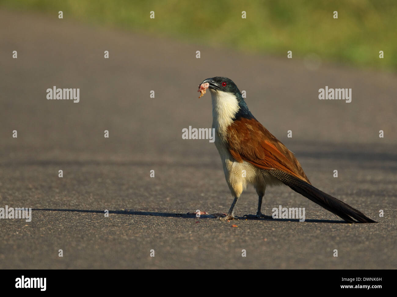Burchell´s Coucal (Centropus burchelli), eating driven over animal, Kruger National Park South Africa - Stock Image