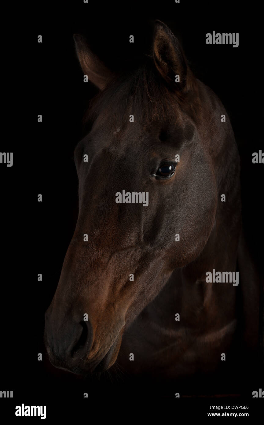 Bay horse black background Selle Francais x cross tb thoroughbred horse equine equestrain - Stock Image