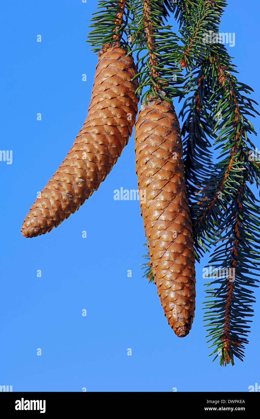 Norway Spruce or European Spruce (Picea abies), cone detail, North Rhine-Westphalia, Germany - Stock Image