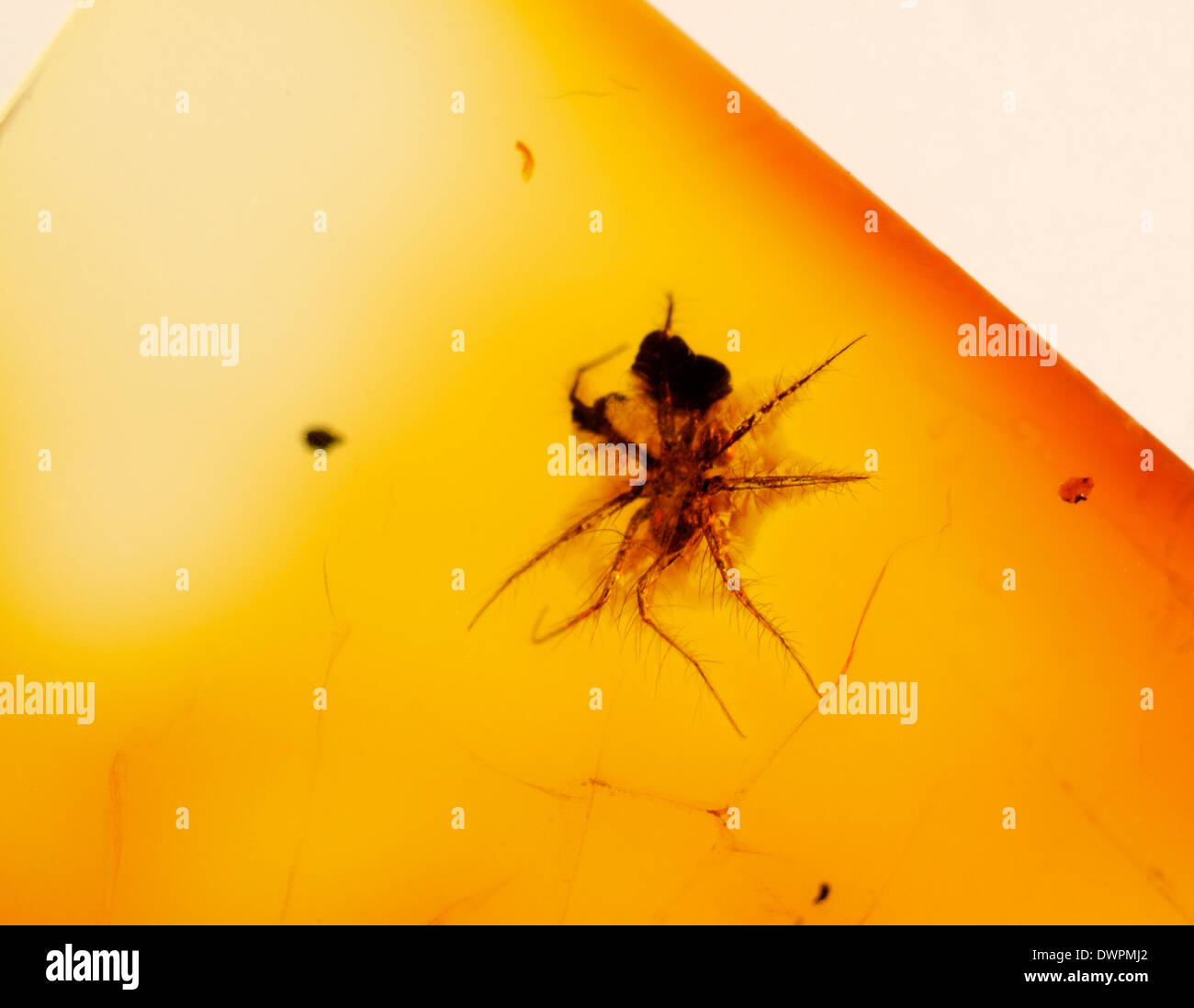 Prehistoric spider preserved in amber - Stock Image