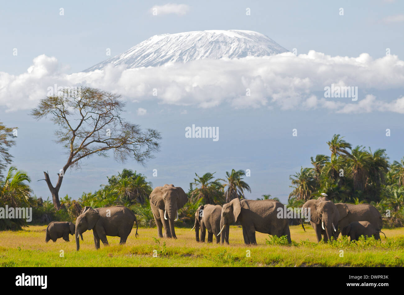 Bull Elephant (Loxodonta africana) in musth moves into small herd with snow capped Kilimanjaro in the background. Amboseli Kenya - Stock Image