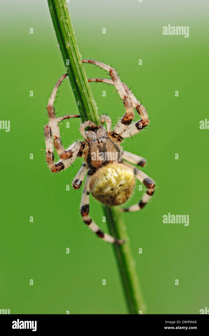 Four Spot Orb Weaver (Araneus quadratus), North Rhine-Westphalia, Germany - Stock Image
