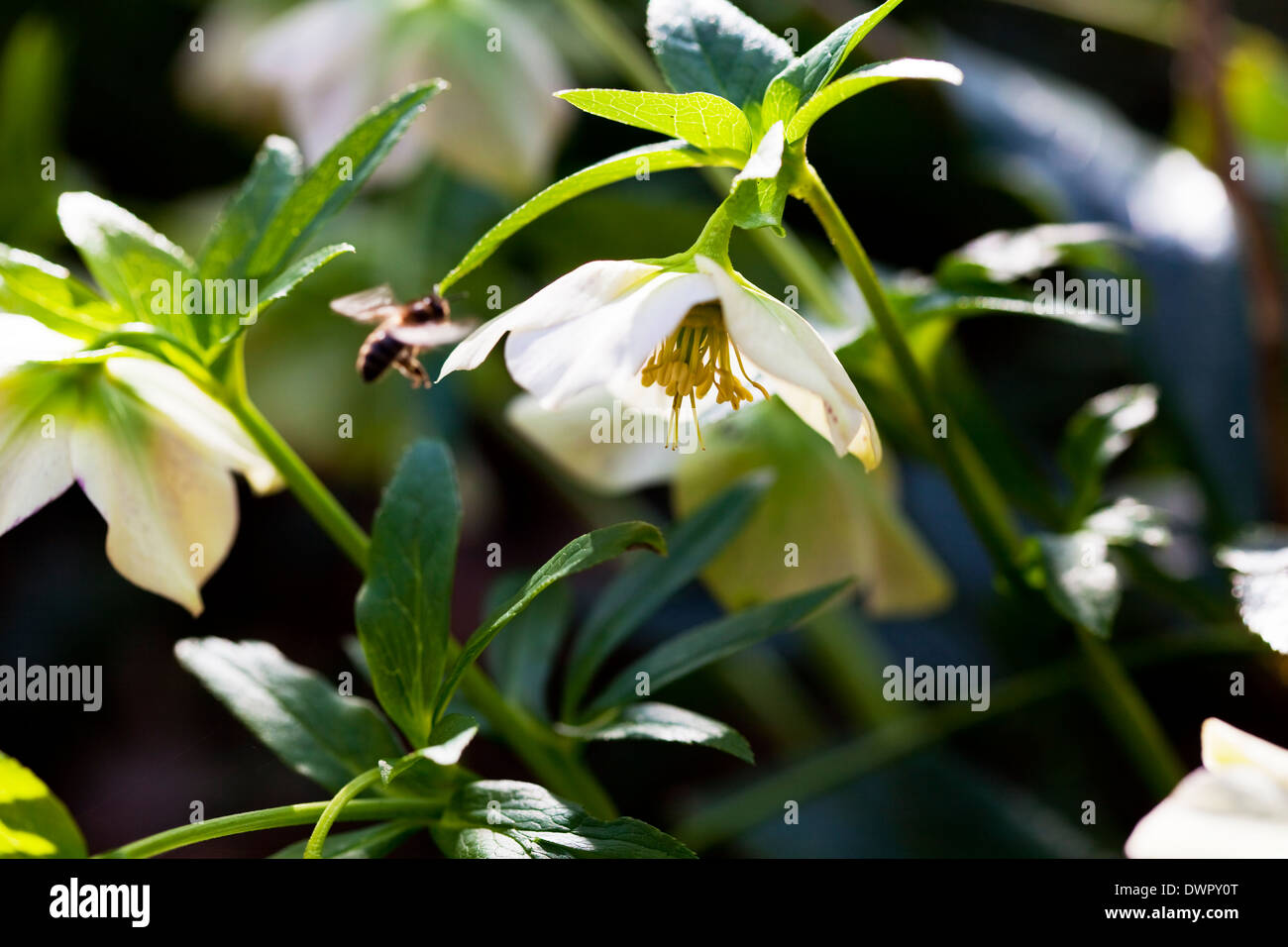 White hellebore with honey bee flying towards it, Spring time, England - Stock Image