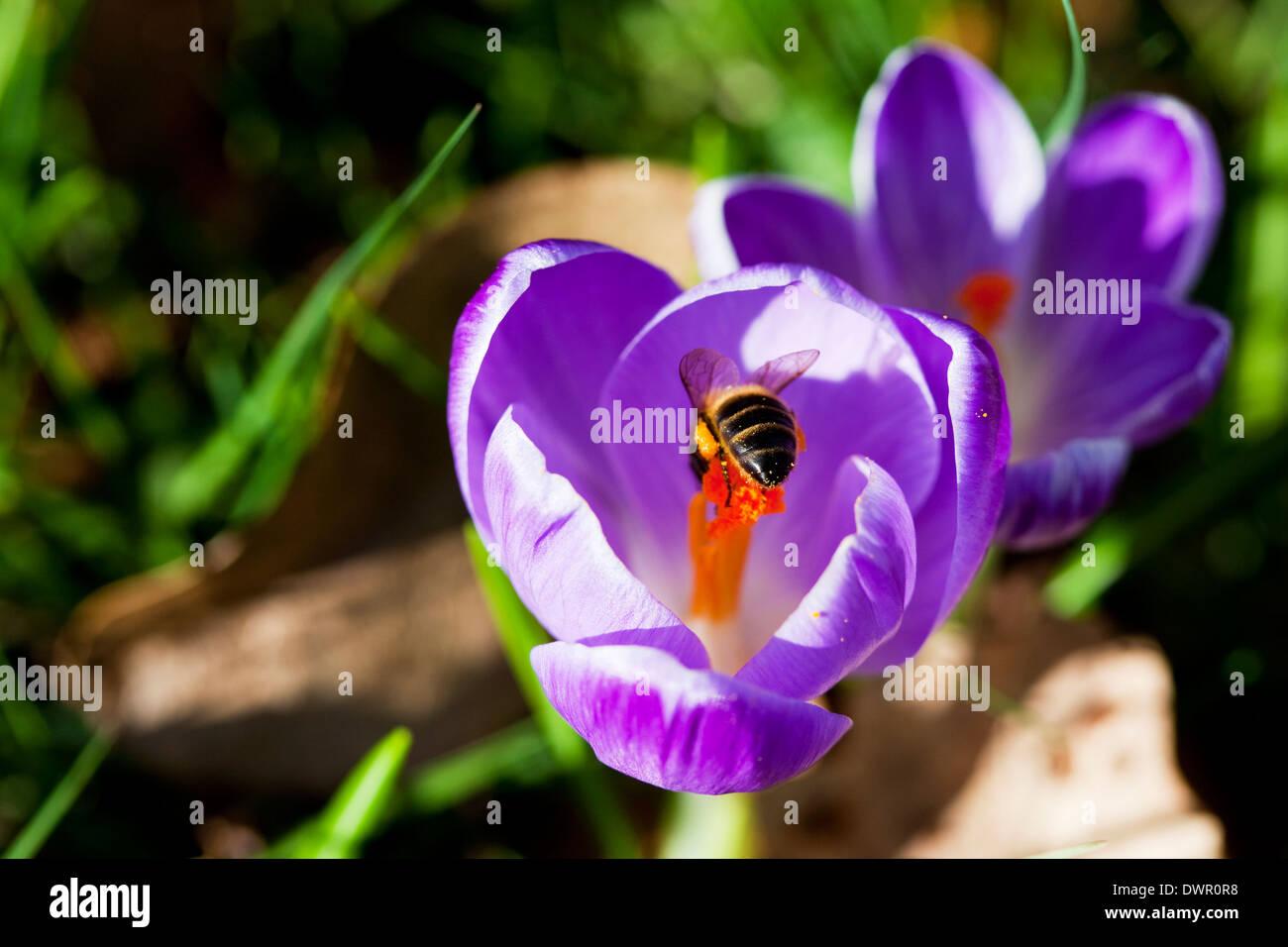 Honey bee on a purple crocus in spring, England, UK - Stock Image
