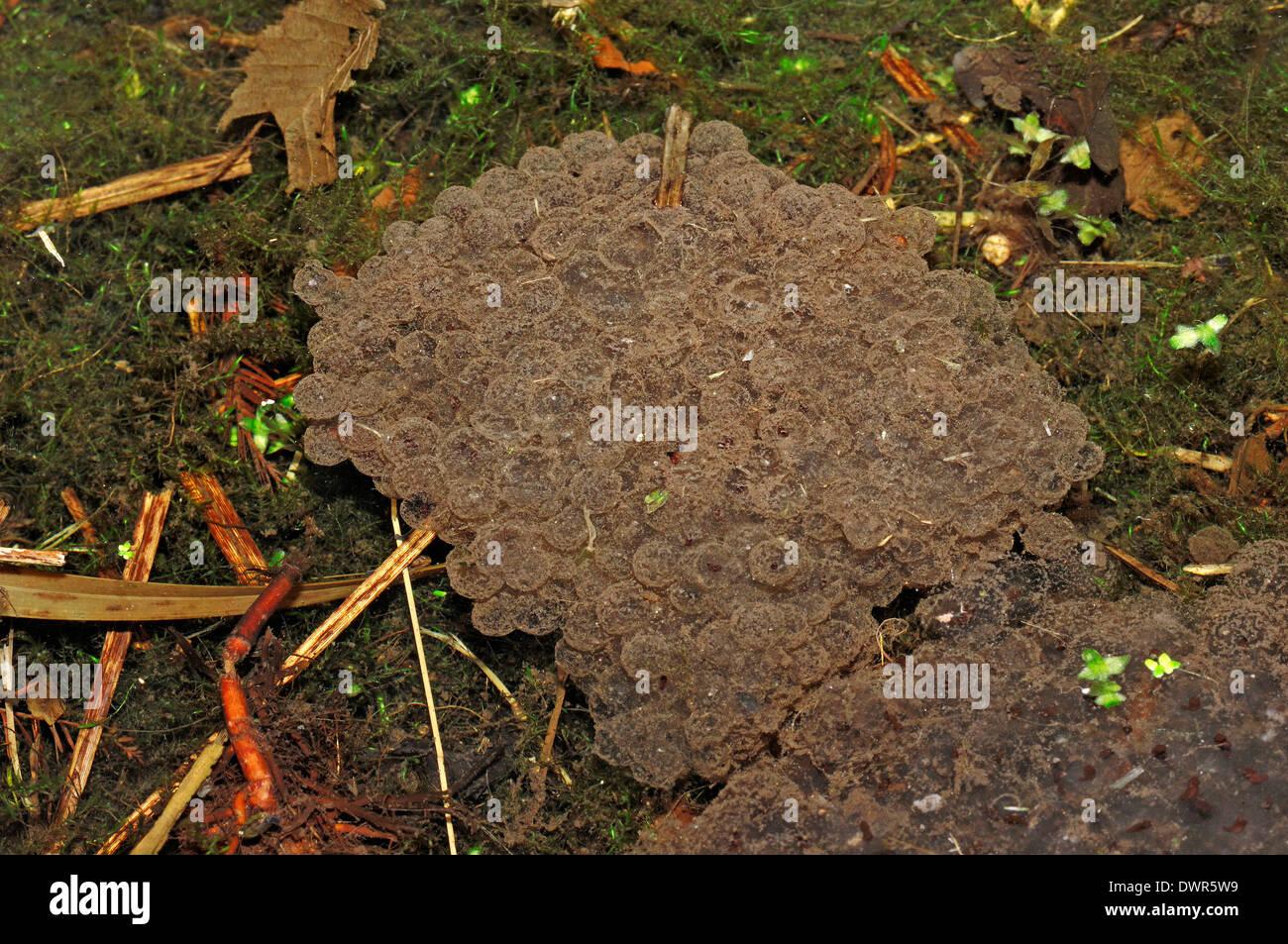 European Common Frog or European Common Brown Frog (Rana temporaria), spawn, North Rhine-Westphalia, Germany - Stock Image