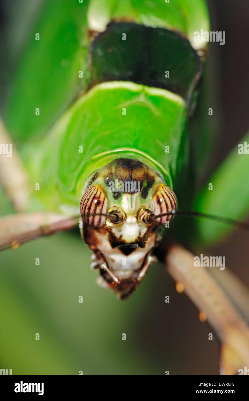 Bush Katydid or Malaysian Leaf Katydid (Ancylecha fenestrata) - Stock Image