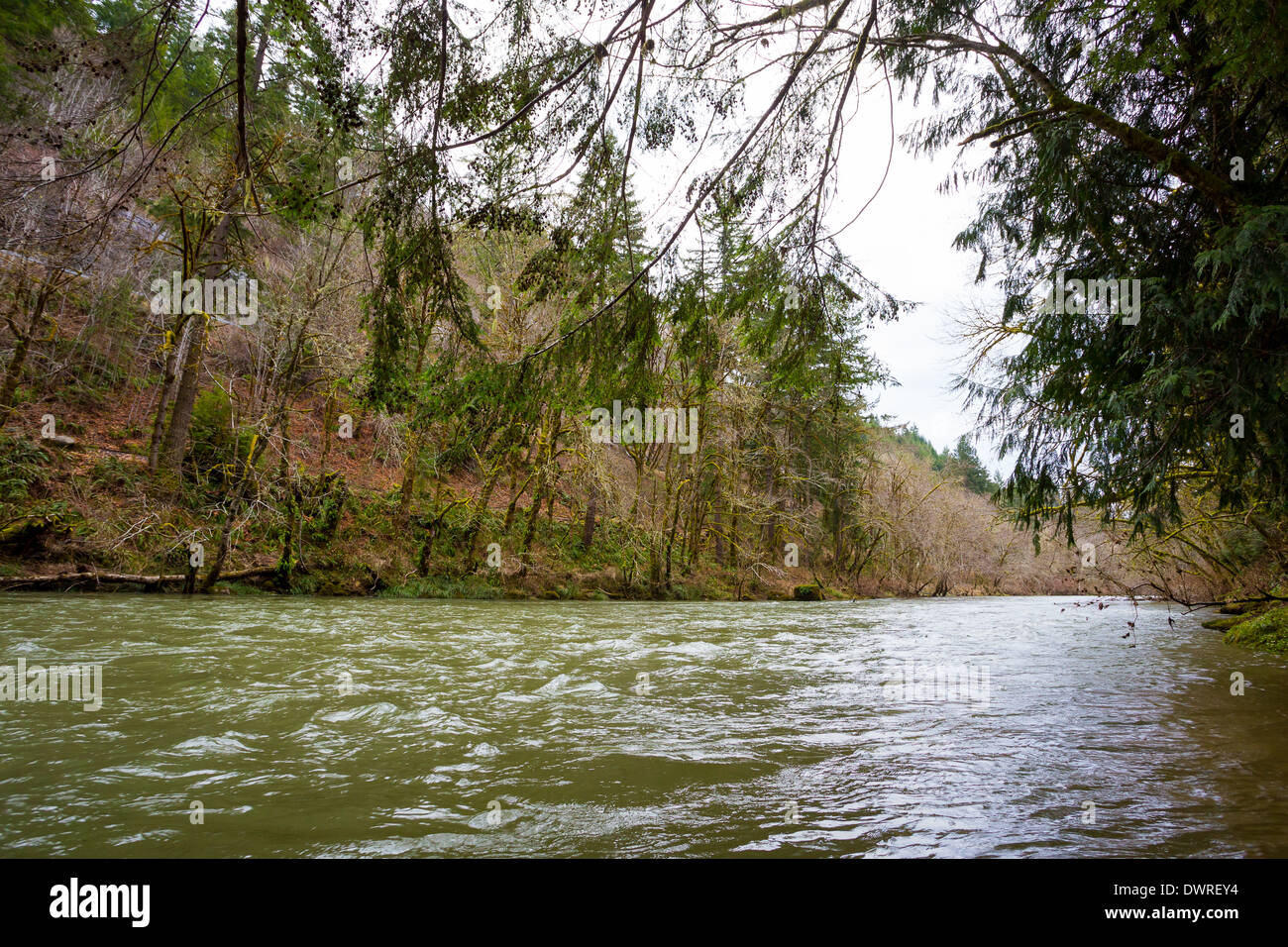 Winter flows on the Siuslaw River in Oregon at 7 feet on the Mapleton gauge. Perfect spot and levels for winter steelhead. - Stock Image