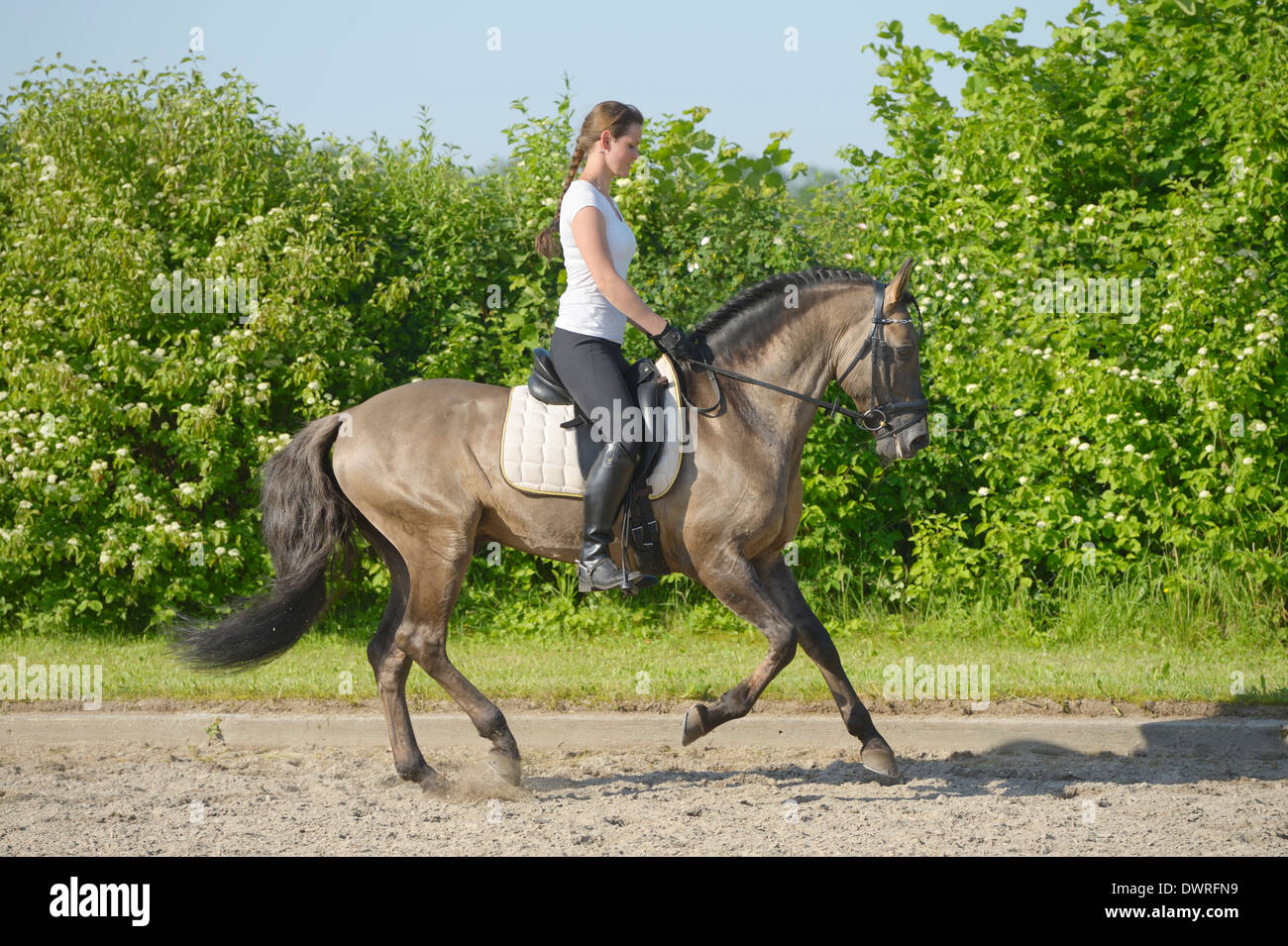 Dressage rider on back of a Lusitano horse stallion cantering - Stock Image