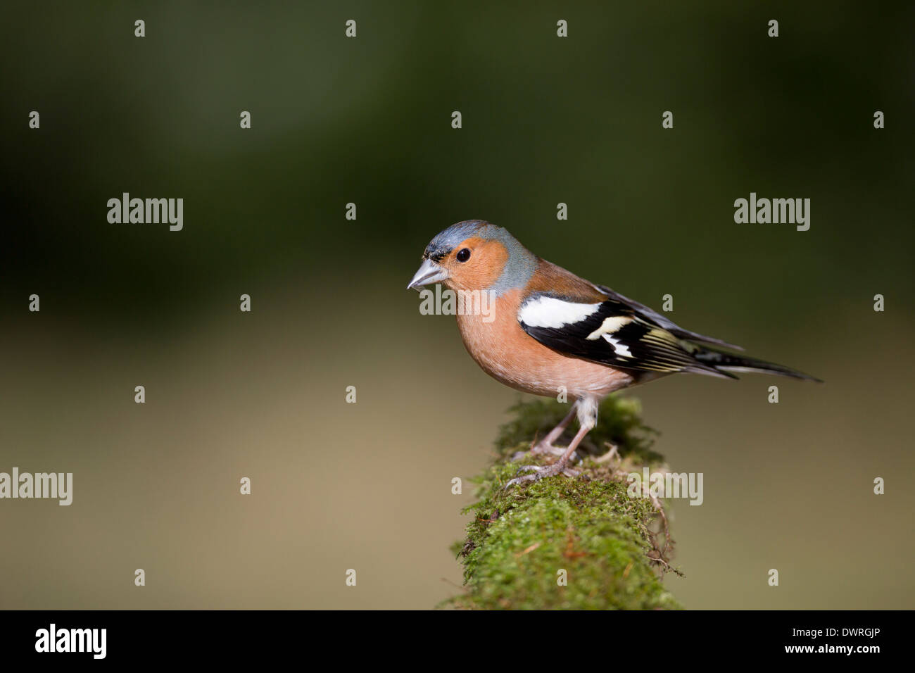 Chaffinch; Fringilla coelebs; Male; UK - Stock Image