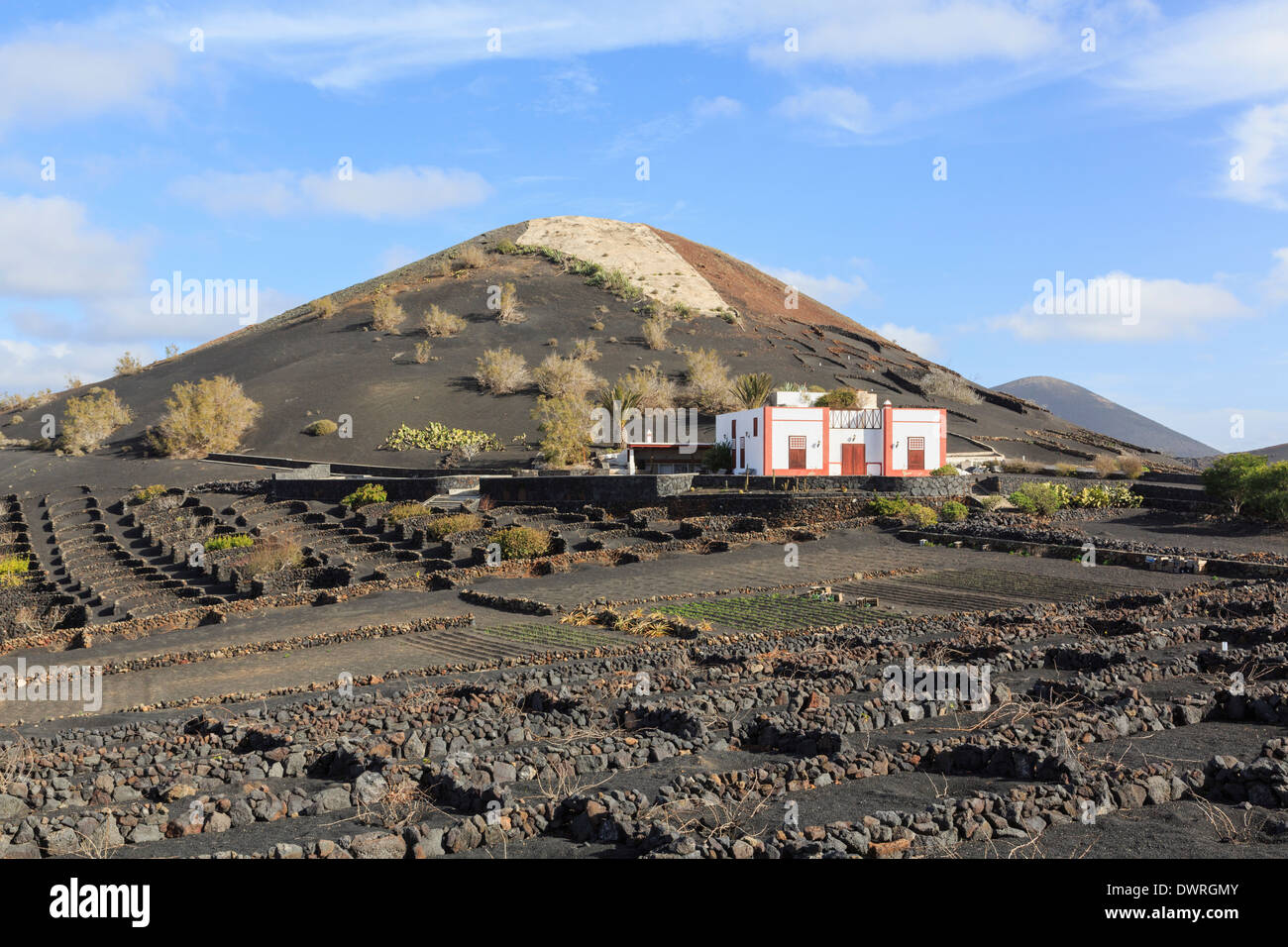 Winery beyond a field of vines growing in volcanic ash protected by walls in vineyards of La Geria, Lanzarote, Canary Islands - Stock Image