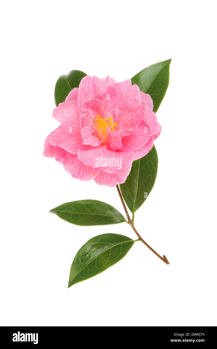 Magenta camellia flower and foliage isolated against white - Stock Image