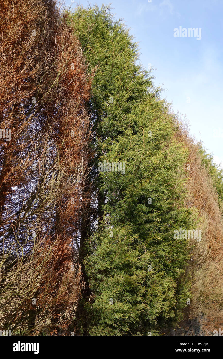 Phytophthora Tree Disease in a Line of Conifers, UK Stock Photo