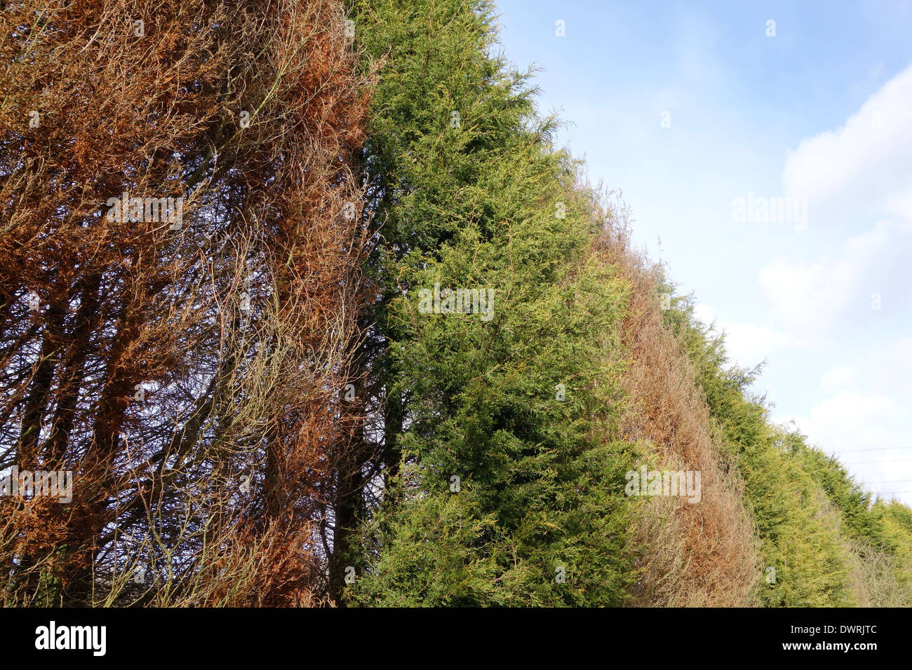 Phytophthora Tree Disease in a Line of Conifers, UK - Stock Image
