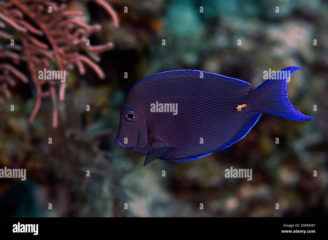A blue tang fish in the wild in Roatan, Honduras. - Stock Image