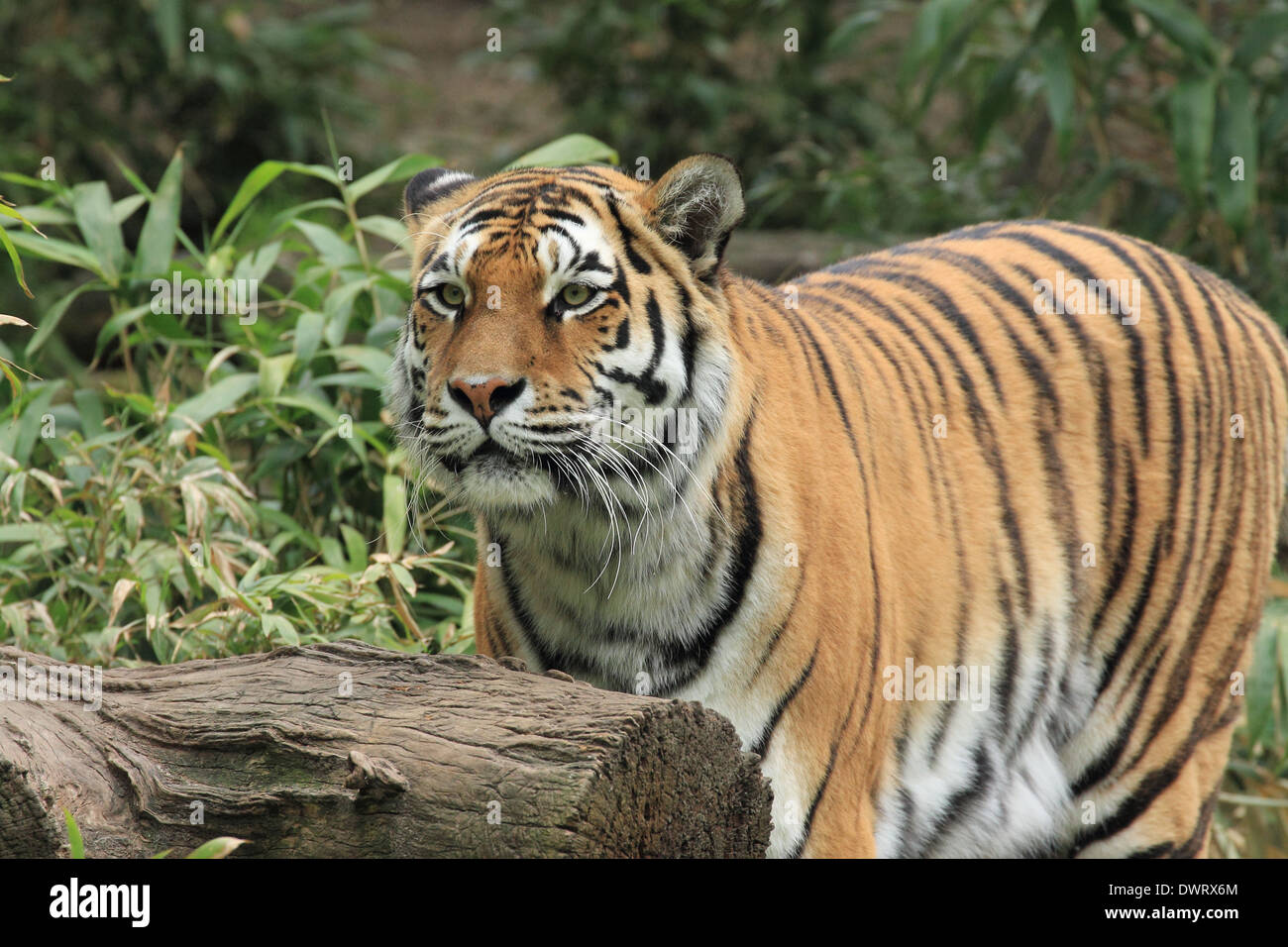 Tiger, Fierce - Stock Image