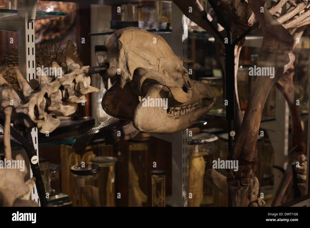 Grant Museum of Zoology and Comparative Anatomy, University College, London (UCL) - Stock Image