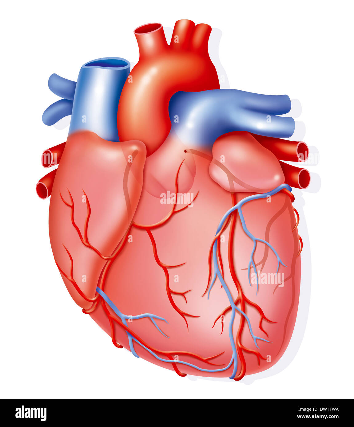 Heart, illustration - Stock Image
