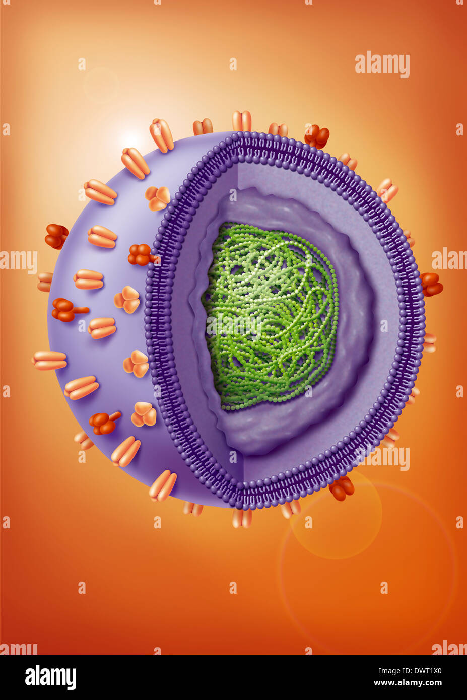Influenza virus, drawing - Stock Image