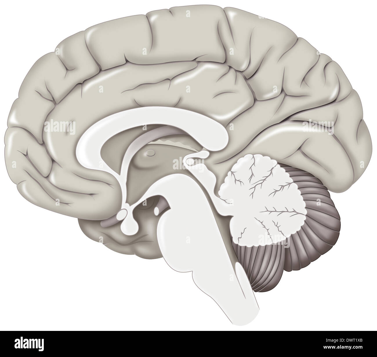 Brain, drawing - Stock Image