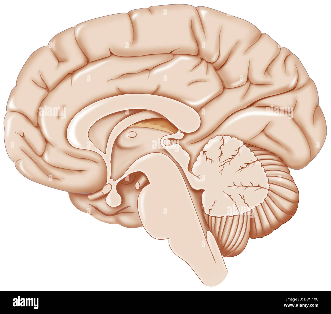 Pineal Gland Drawing Stock Photos & Pineal Gland Drawing Stock ...