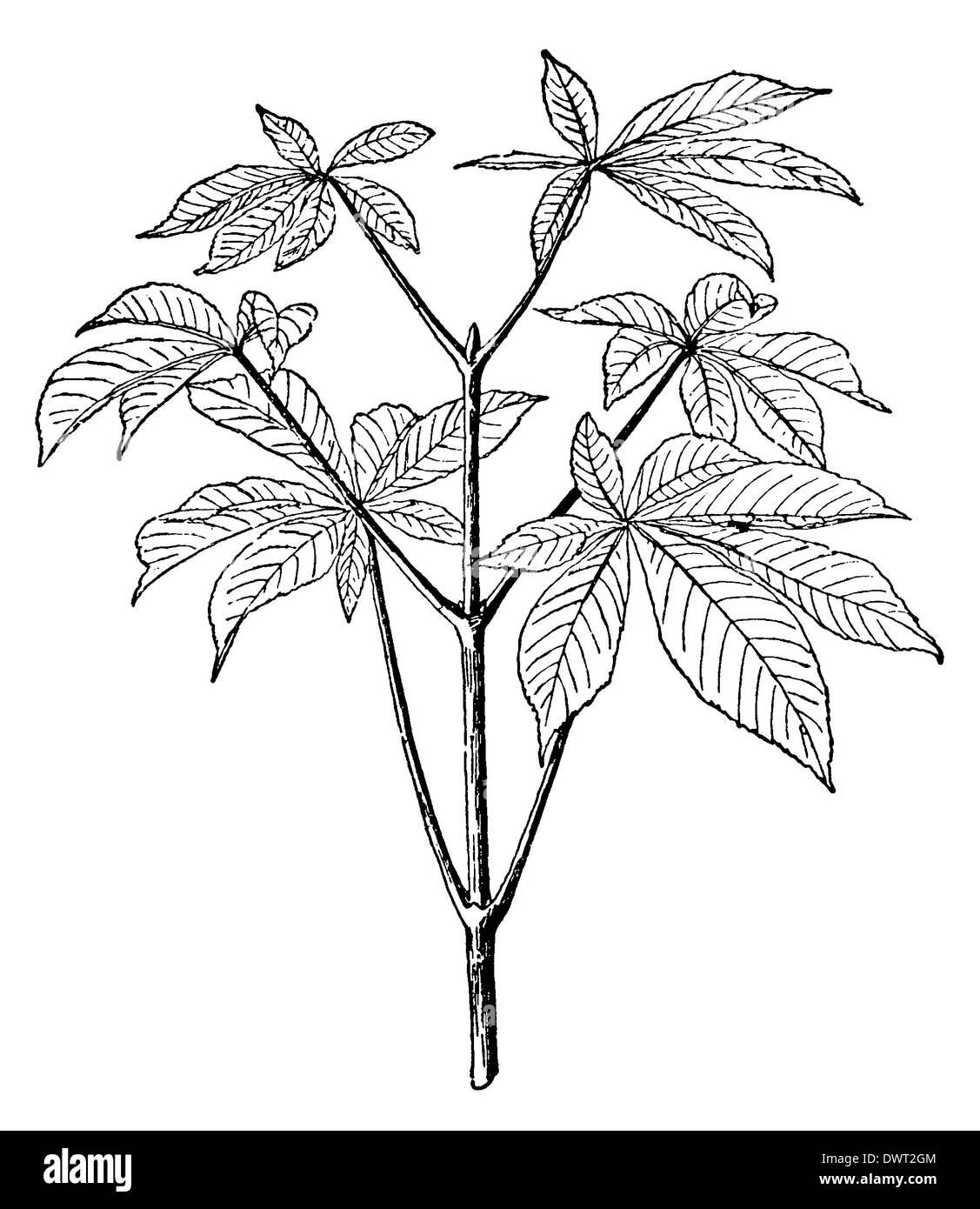 Horse Chestnut: branch - Stock Image