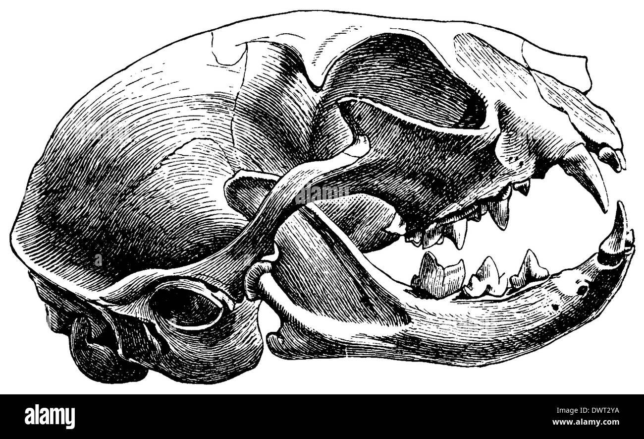 Domestic cat: skull Stock Photo: 67526686 - Alamy