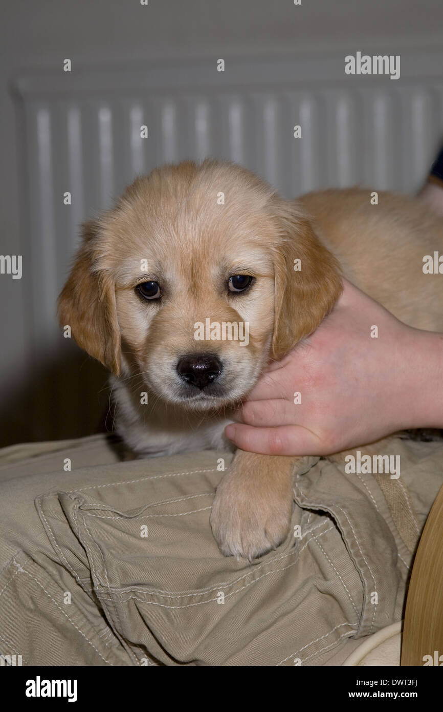 Dougie, Yorkbeach Golden Sea Boat, 7 week old male golden retriever puppy sits on boy Stock Photo