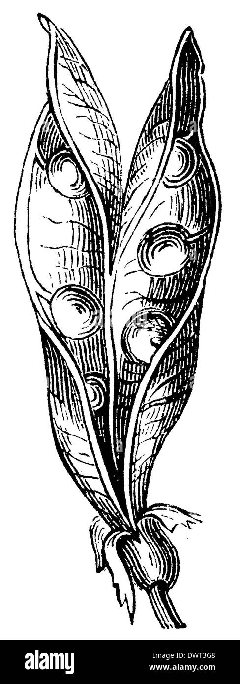 Pea: sleeve - Stock Image