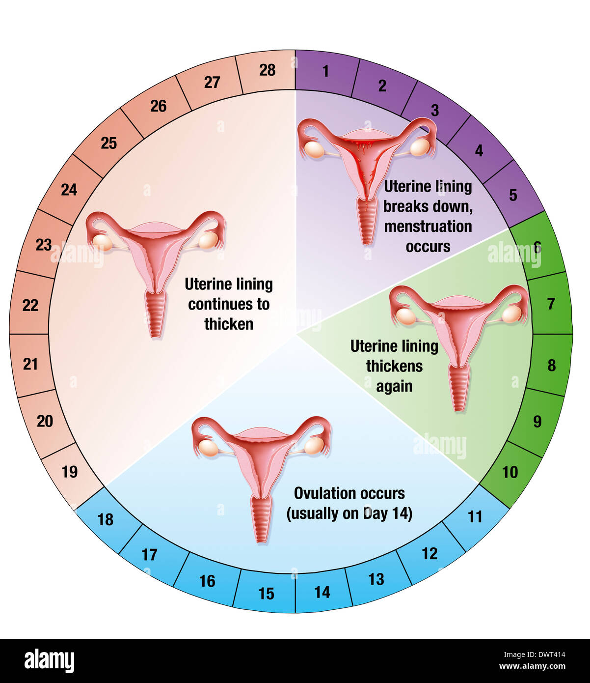 Menstrual cycle drawing stock photo 67527520 alamy menstrual cycle drawing ccuart Image collections