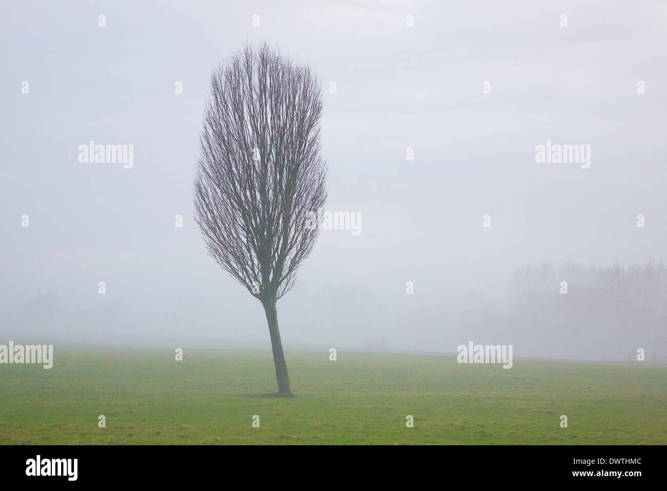 Tree against foggy background. Growing out of grass field. - Stock Image