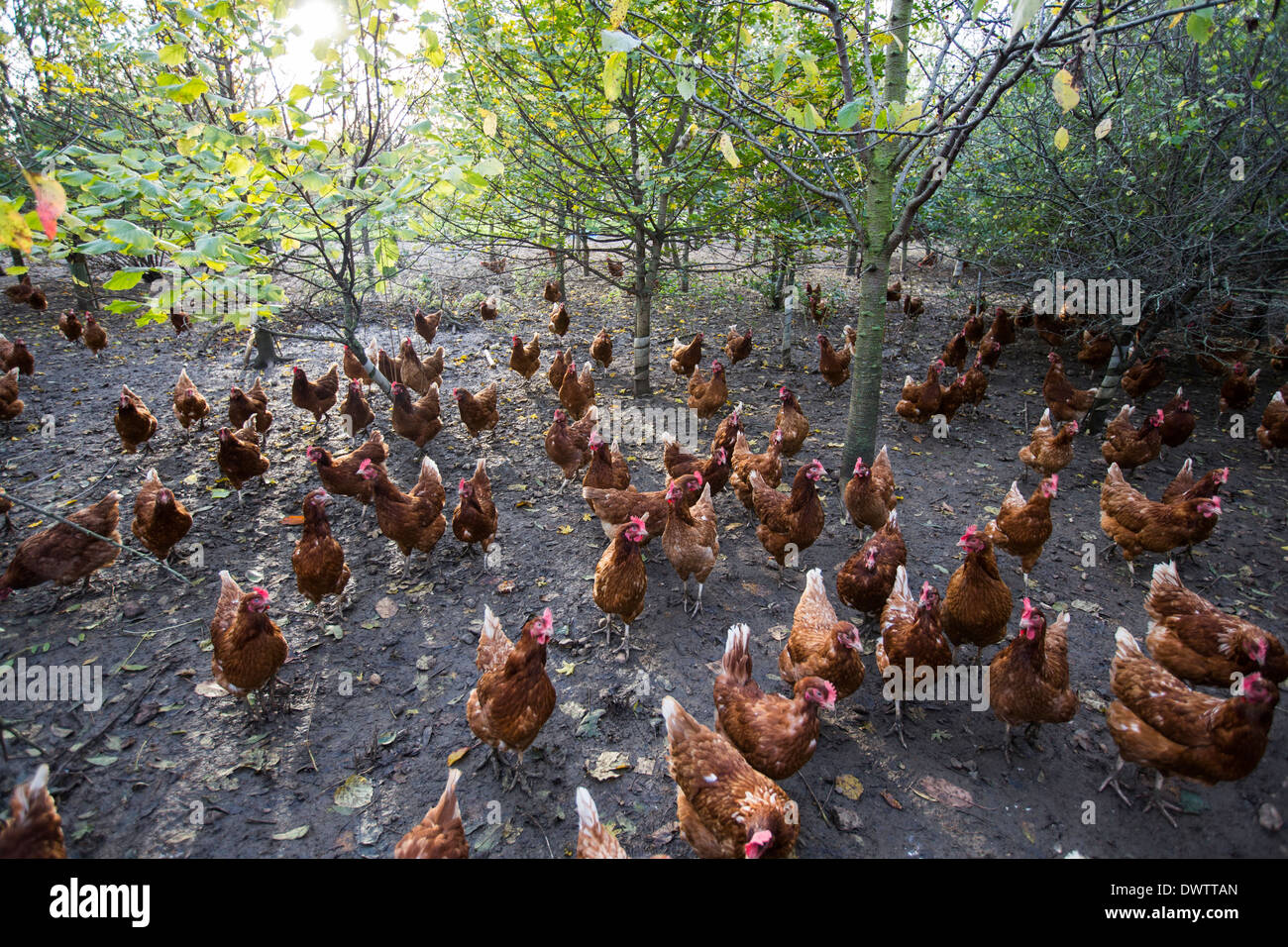 Free range chickens on a farm in Leicestershire, UK - Stock Image