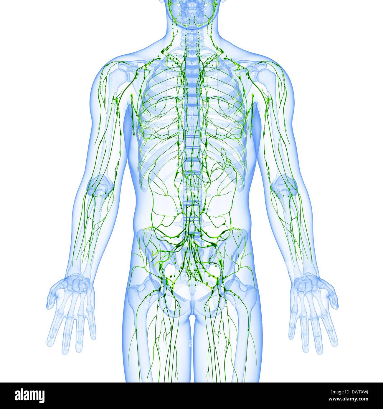 Berühmt Das Lymphsystem Diagramm Bilder - Menschliche Anatomie ...