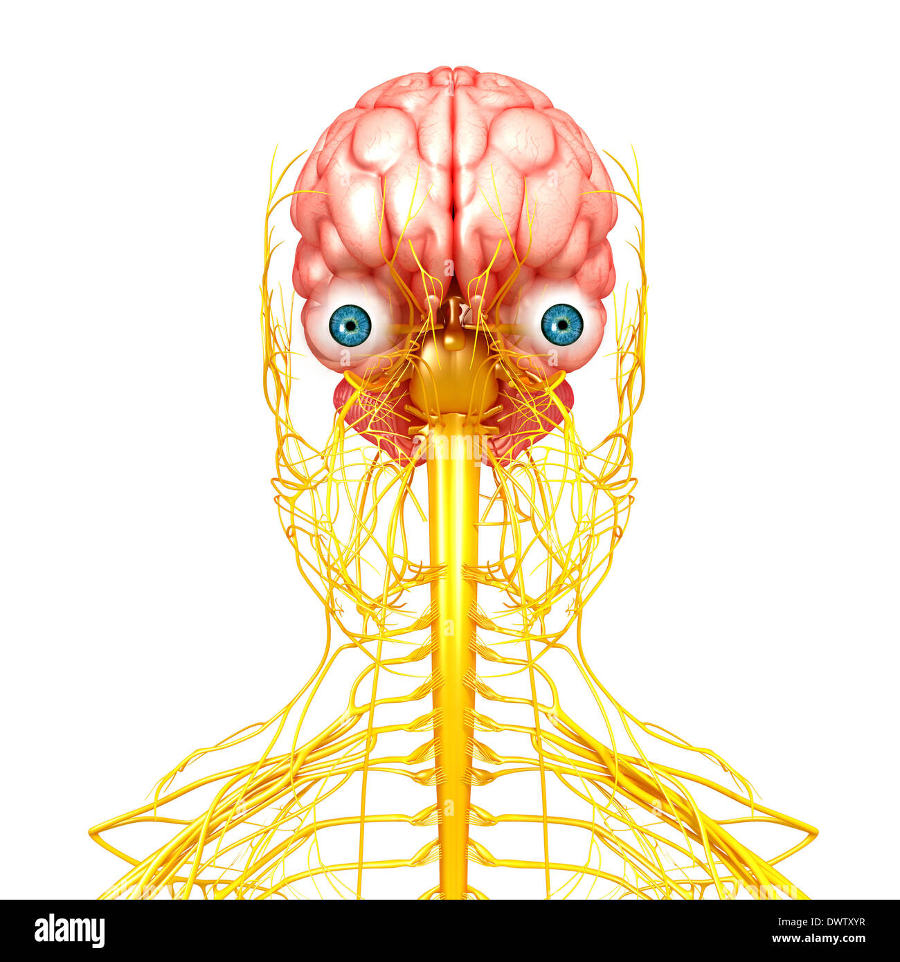 nervous system drawing stock photo 67545515 alamy