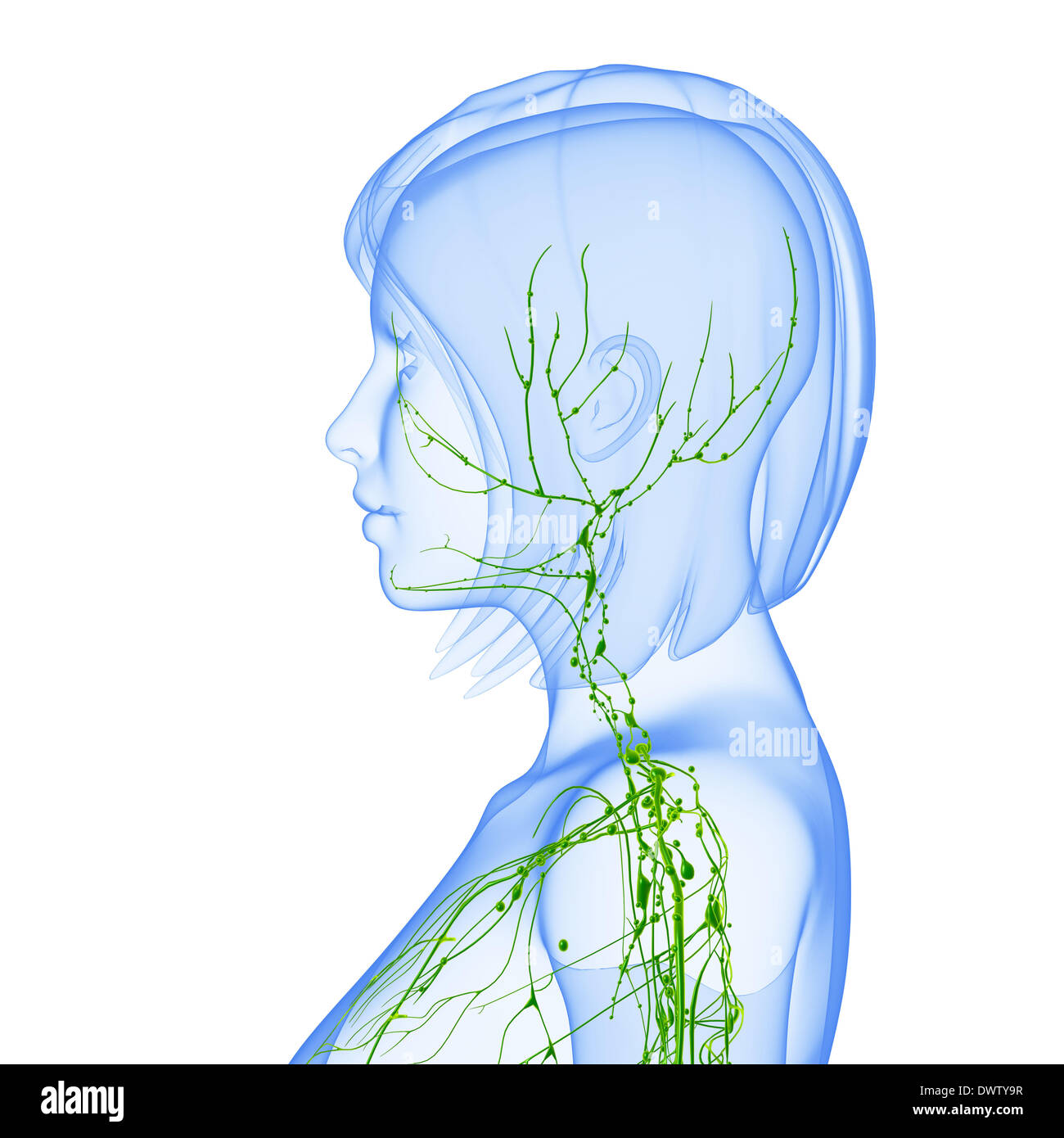Lymphatic System Head Neck Drawing Stock Photo 67545795 Alamy