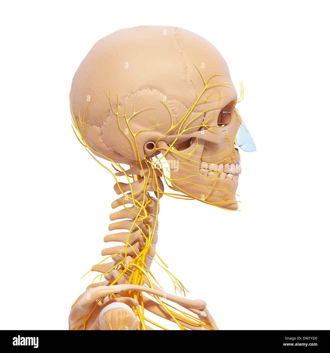 Peripheral nervous system head neck drawing Stock Photo: 67545898 ...