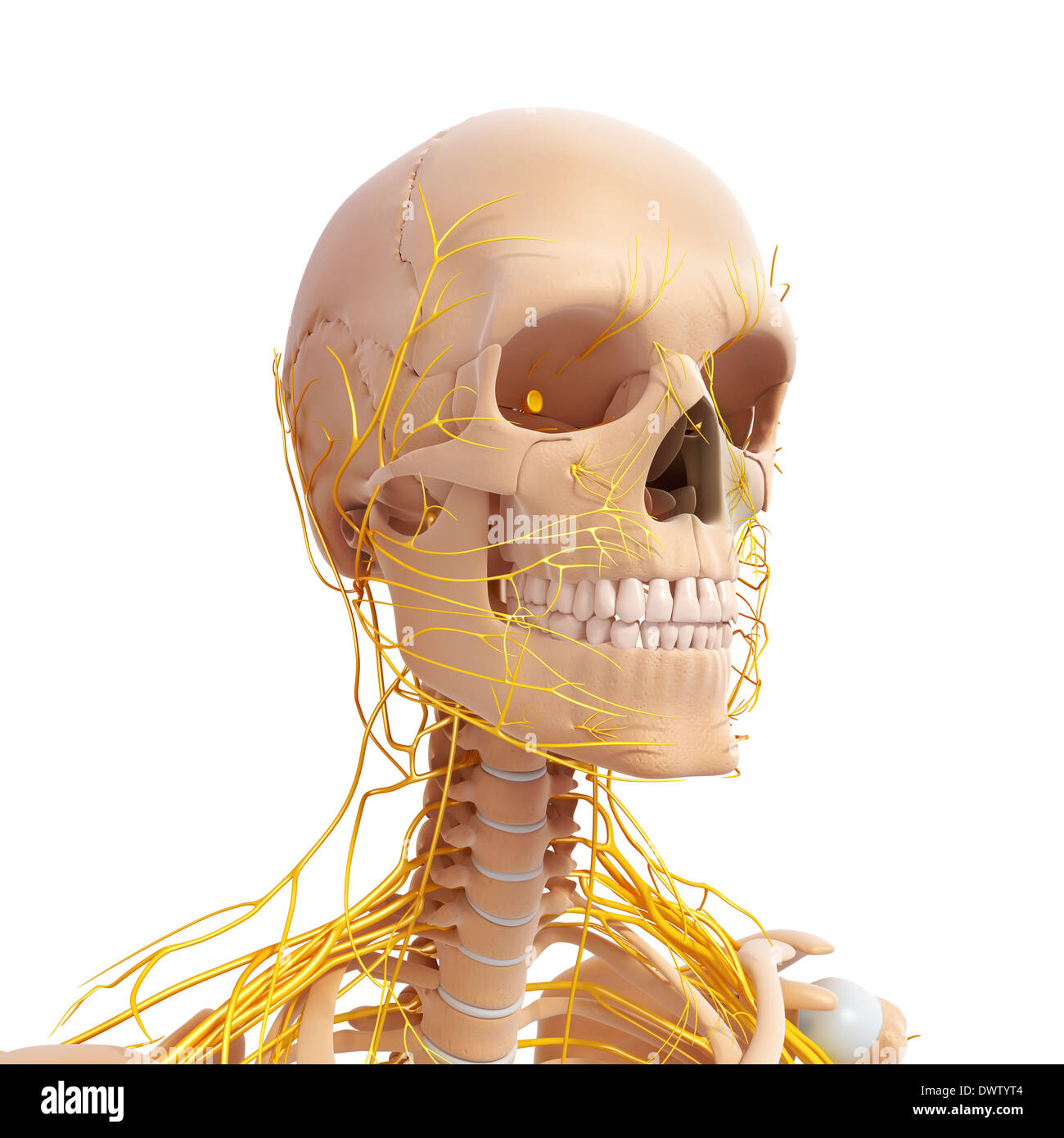 Peripheral nervous system head neck drawing Stock Photo: 67546196 ...