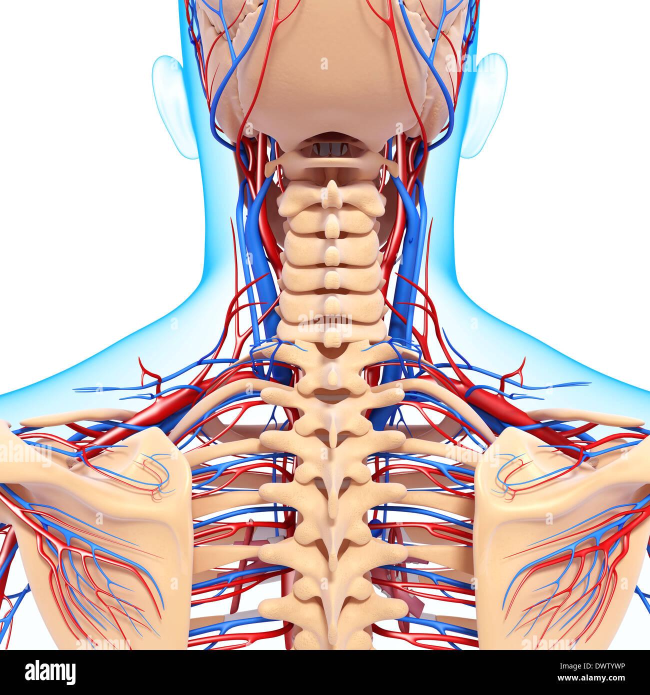 Drawing Anatomy Neck Nape Of The Stock Photos & Drawing Anatomy Neck ...