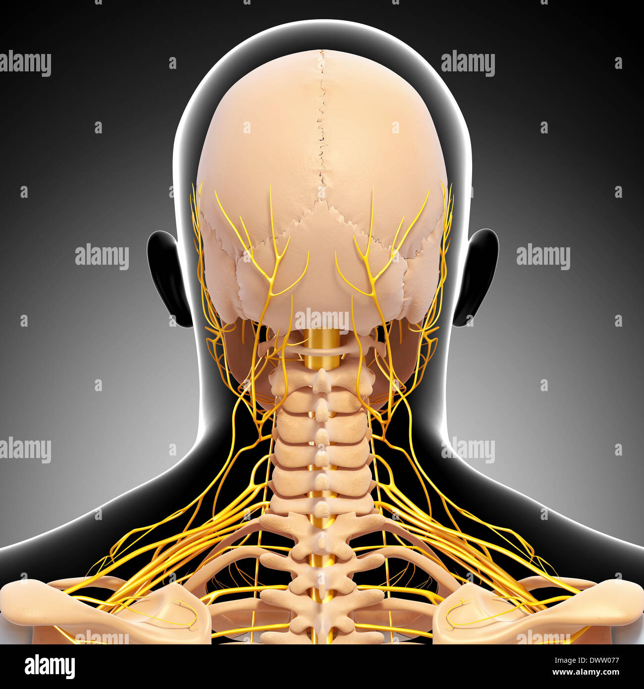 Peripheral nervous system head neck drawing Stock Photo: 67546507 ...
