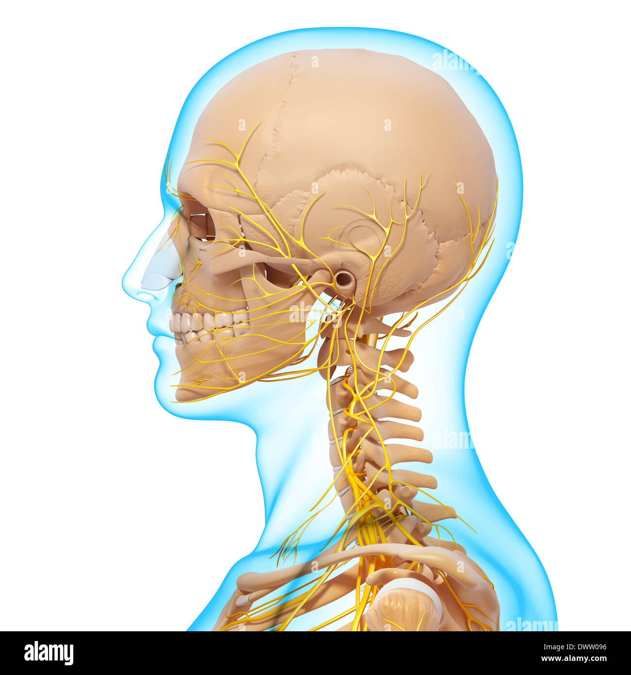 Peripheral nervous system head neck drawing Stock Photo: 67546562 ...