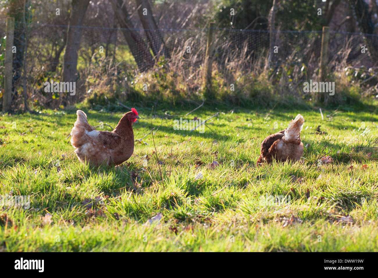 Free-range hens roaming in a field - Stock Image