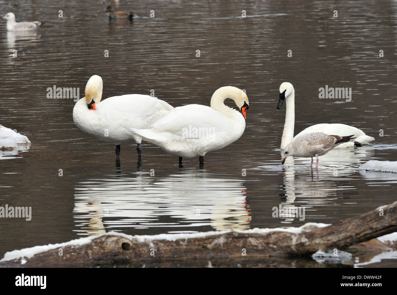 Mute and Trumpeter Swans.  Cygnus olor / Cygnus buccinator Stock Photo