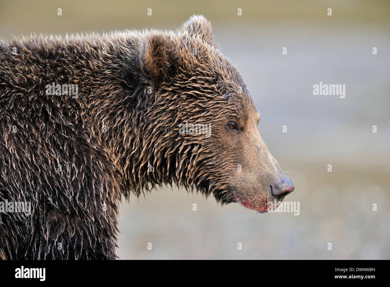 Grizzly bear (Ursus arctos horribilis) portrait. - Stock Image