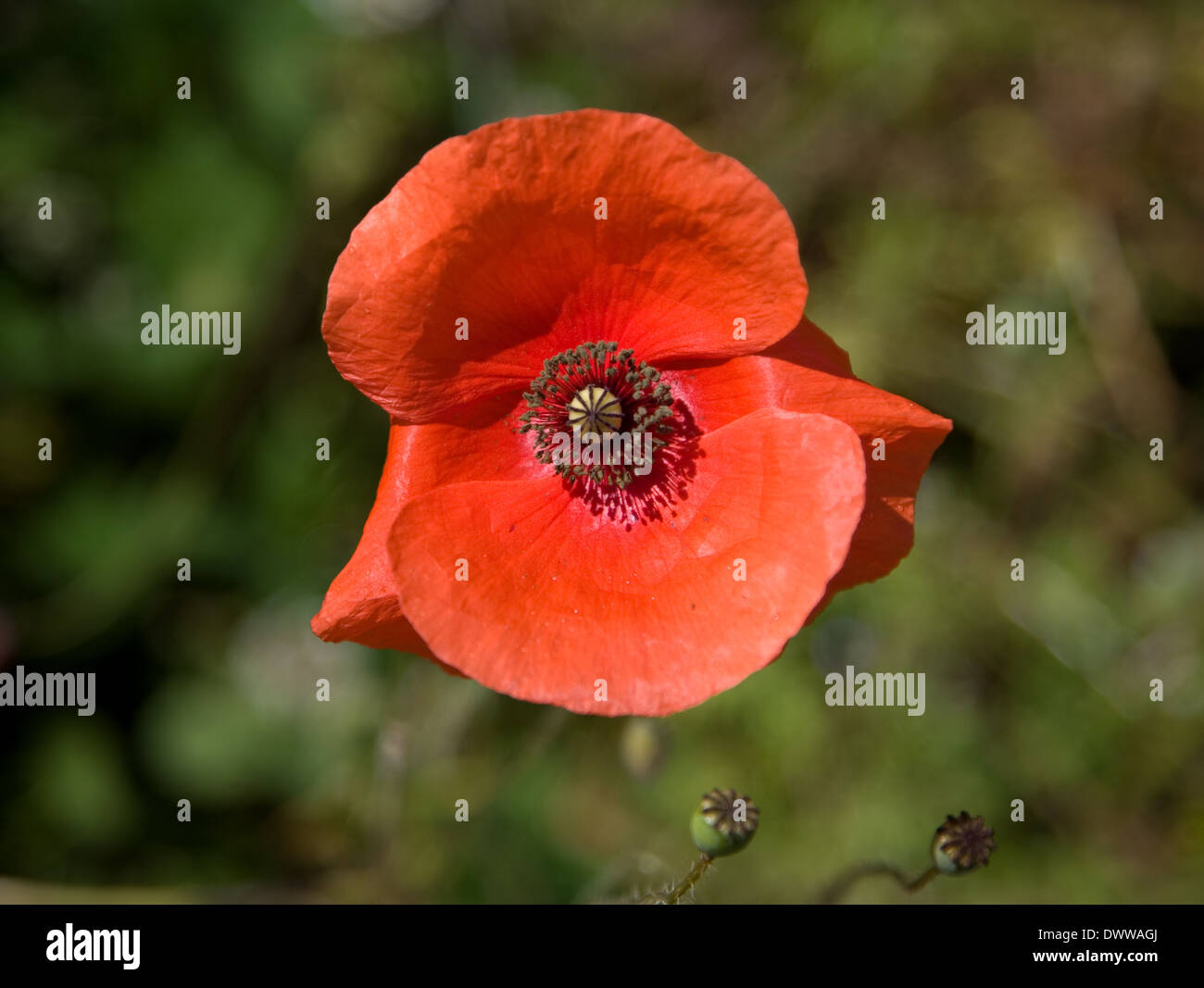 red poppy flower head close up - Stock Image