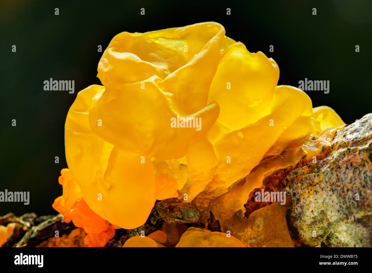 Tremella mesenterica yellow brain, golden jelly fungus, yellow trembler, and witches' butter - Stock Image