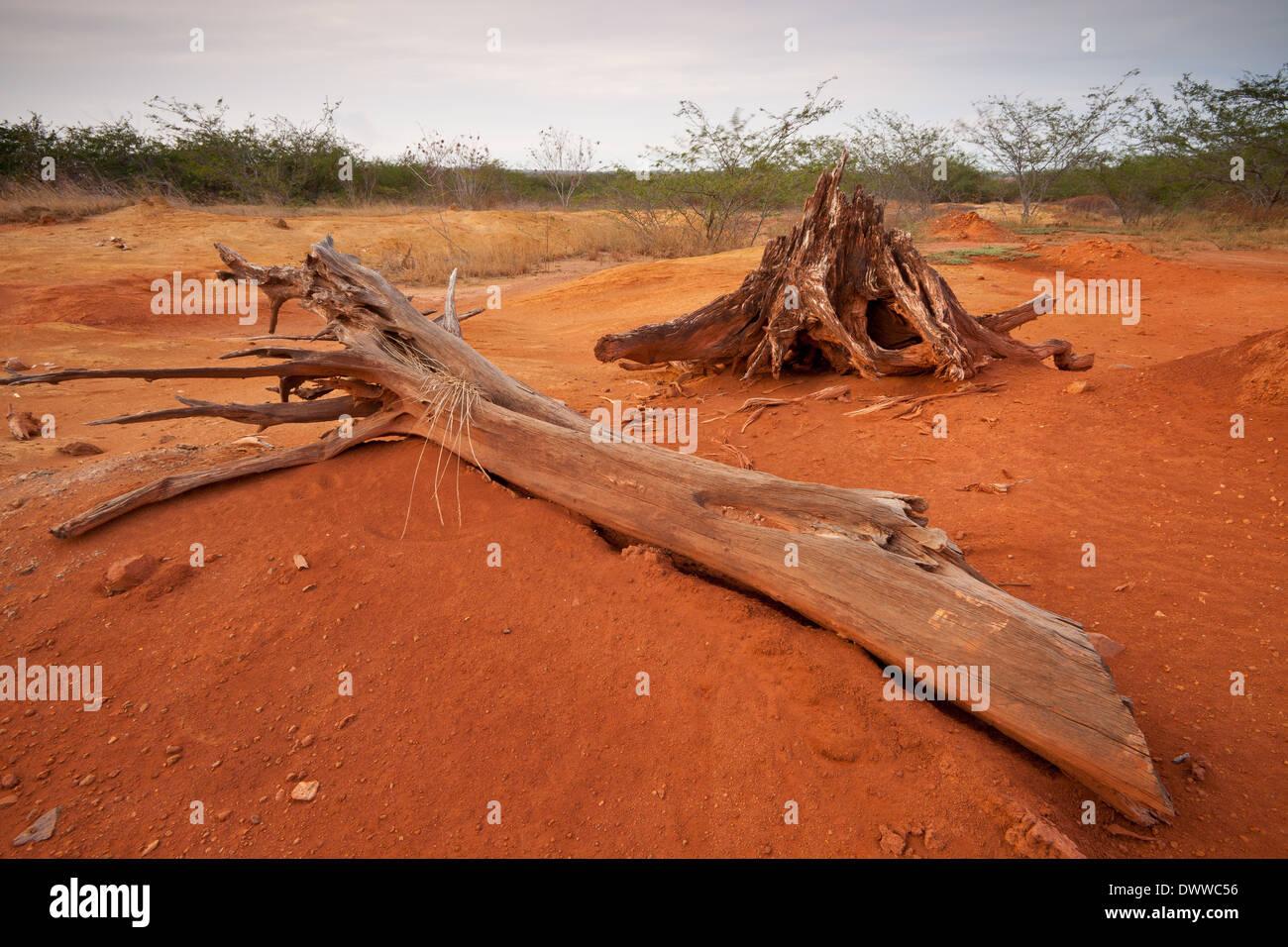 Dry root and tree trunk in Sarigua national park (desert), Herrera province, Republic of Panama. Stock Photo