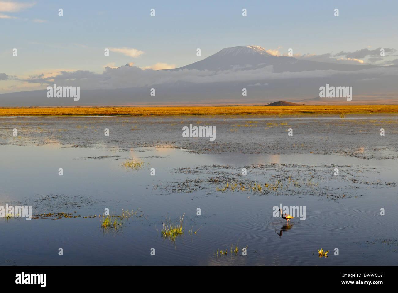 Glossy Ibis (Plegadis falcinellus) alone on lake with Kilimanjaro in background. Amboseli National Park. Kenya - Stock Image