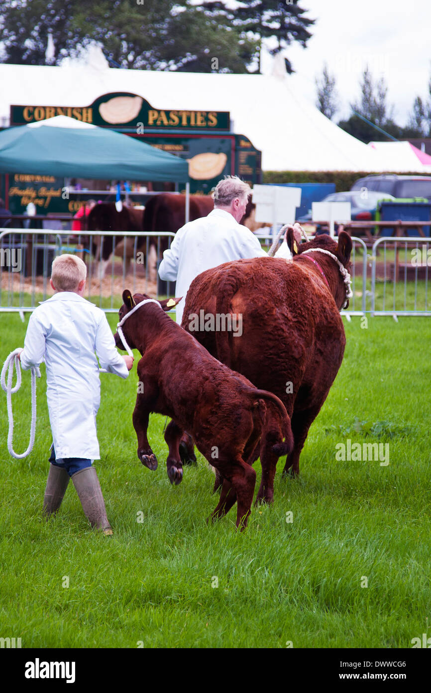 Devon Red Ruby Cattle being shown at an agricultural show - Stock Image