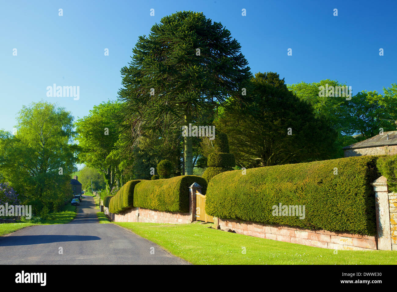 Yew hedge and Monkey Puzzle tree by rural road. Cumrew Cumbria England United Kingdom. - Stock Image
